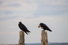 Ravens near Hovenweep.