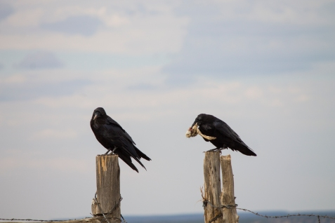 Ravens near Hovenweep.