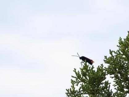 Tarantula Hawk on Comb Ridge, Utah.