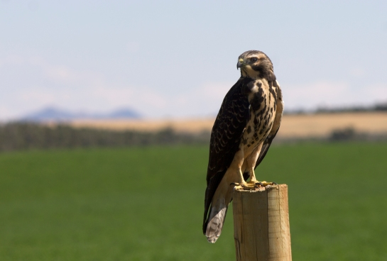 Red tailed hawk, on the Hovenweep road.