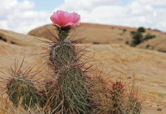 Prickly Pear in bloom on the parcel that was sold.