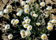 crazydesertflowers1