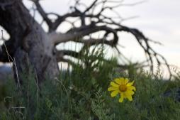 flowertreecedarmesa