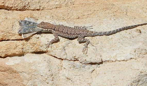 lizardmoth1