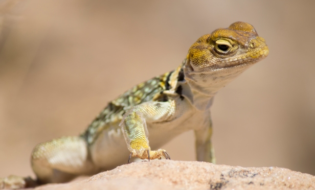 CollaredLizard2