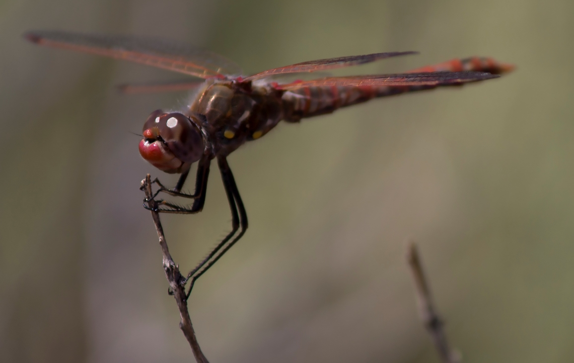 DragonflyRed1
